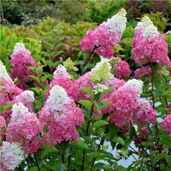 Hydrangea paniculata Fraise Melba Pot C25L