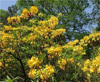Rhododendron luteum ou Azalea mollis 60 70 Pot C7.5** Très parfumée **