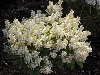Pieris japonica Debutante Pot C5