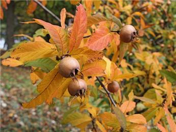 Néflier Mespilus germanica Nottingham Buisson Pot