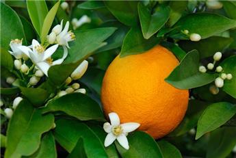 Citrus sinensis oranger 50 70 cm Pot P19