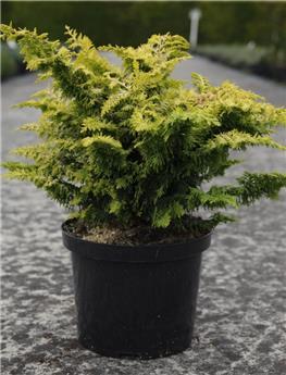 Chamaecyparis obtusa Fernspray Gold 20 25 Pot C2