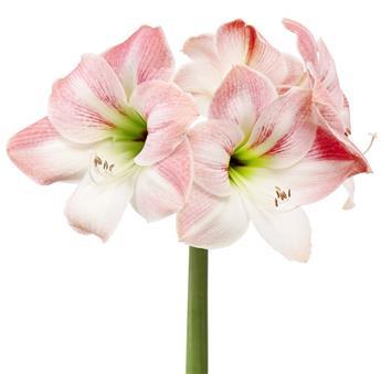 Amaryllis rose blanc* 1 pc cal.28/30 Boite cadeau