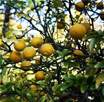 Poncirus trifoliata 40 60 Pot C3.6 ** Citronnier épineux, parfumé **