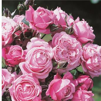 Rosier Soeur Emmanuelle® Pot  **Parfumé**
