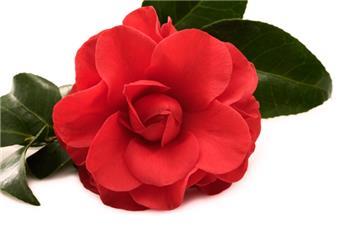 Camellia japonica Cereixia de Tollo Pot C4 ** 5 ans **
