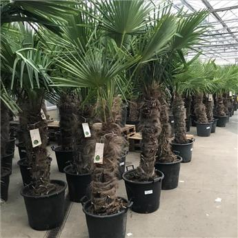 Trachycarpus Fortunei Pot 55 1 Tronc 100 120 cm