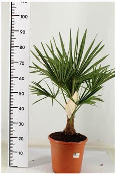 Trachycarpus Fortunei Pot P25 Touffe