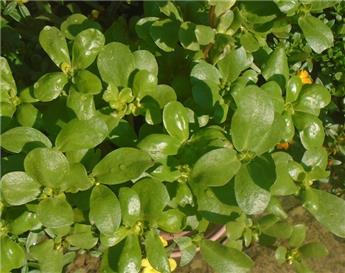 Portulaca oleracea Pot C1.5 ** Pourpier maraicher **