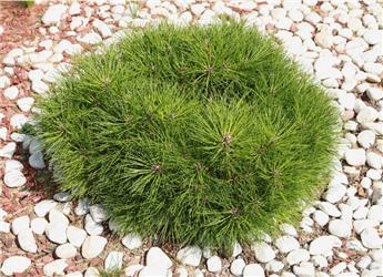 Pinus mugo Gnom 40 Pot C15