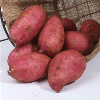 Ipomoea batatas Murasaki Pot C1.5 ** patate douce rouge **