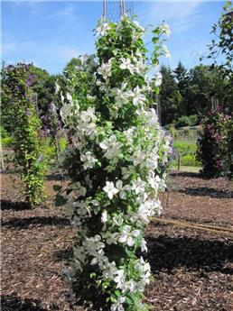 Clematis Forever Friends Pot 16 - C2