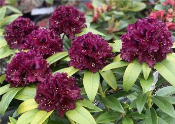 Rhododendron Dramatic Dark 50 60 XXL Pot