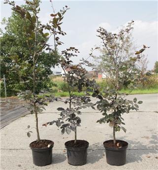 Fagus sylvatica Purpurea 150 175 Pot C12L ** En pot : se plante toute l´année **
