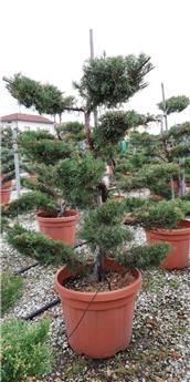 Juniperis media Pfitzeriana Bonsai 1 tronc Nuage  100 120 cm Pot C45