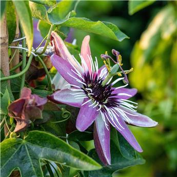 Passiflora Beervelde Pot