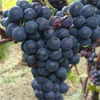 Vitis vinifera Prior Pot C3 ** Très résistante aux maladies et au froid **