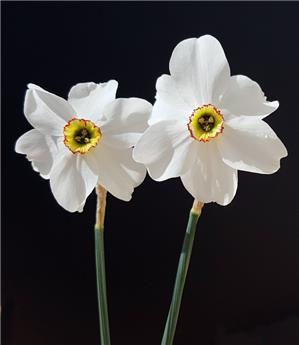 Narcisse recurvus * 30 pc cal.10/12
