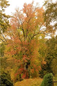 Acer saccharinum Lutescens Cepee 250 300 cm Pot C70 Multi-troncs