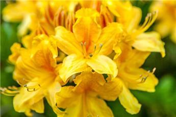 Rhododendron luteum ou Azalea mollis 100 125 Pot C18** Très parfumée **