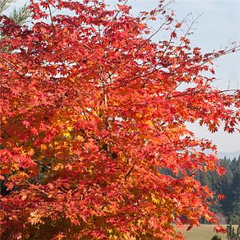 Acer pseudosieboldianum North Wind 125 150 Pot C12 ** Erable du Japon **