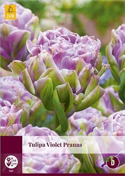Tulipe Violet Pranaa * 7 pc cal.11/12