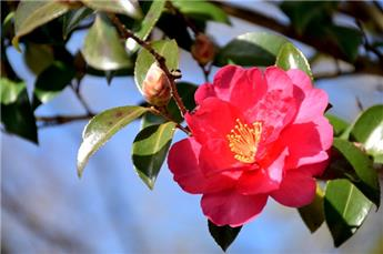 Camellia sasanqua Hiryu (rose) Pot C7.5 7 ans