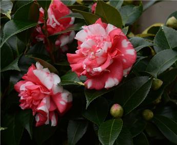 Camellia japonica Daikagura (bicolore) Pot C15 9 ans
