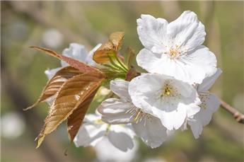 Prunus serrulata Tai Haku Haute Tige 16 18 Motte