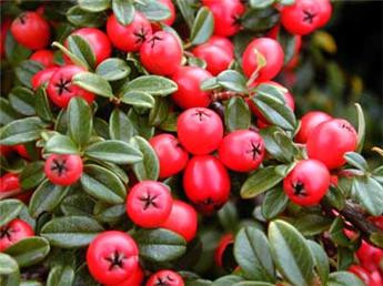 Cotoneaster microphyllus Streib´s Findling P9