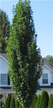 Quercus palustris Green Pillar Baliveau 300 400 cm Motte