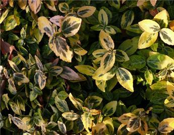 Euonymus fortunei Emerald Gold Pot C3