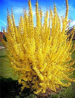 Forsythia int Lynwood Gold P29