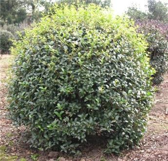 Osmanthus burkwoodii boule 70 75 cm