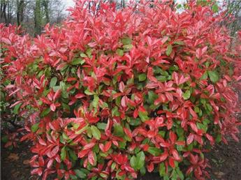 Photinia fraseri Red Robin 100 125 P32