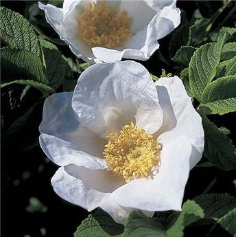 Rosier Rosa Rugosa Alba Pot C3.6