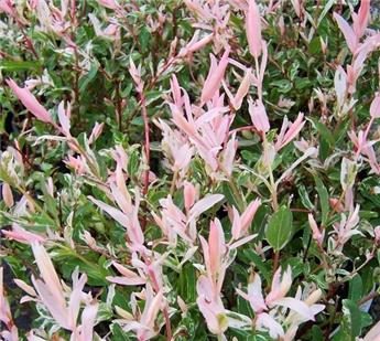 Salix integra Hakuro Nishiki Buisson Pot C10 XTRA