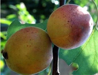 Abricotier Rouge du Roussillon Demi Tige Pot ** Autofertile **