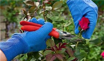 Traitez vos rosiers