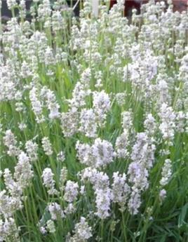 Lavandula angustifolia Aromance White Pot P17 - C2L