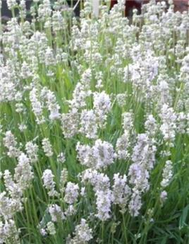 Lavandula angustifolia White Frangrance Pot P17 - C2L