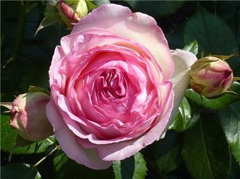 Rosier Pierre De Ronsard ou Eden Rose Grimpant Pot C3