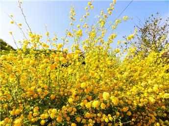 Kerria japonica Pleniflora Pot