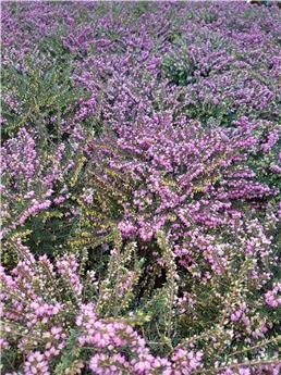 Bruyeres Erica variées Pot P12-13 - Mauve, violet ou blanc