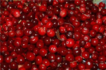 Vaccinium macrocarpon cranberry c2 - Canneberge