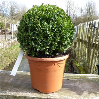 Buxus sempervirens boule 30 pot déco P27