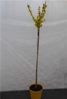 Forsythia intermedia Spectabilis Tige 100 cm Pot P30