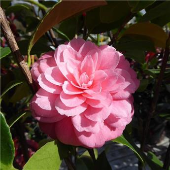 Camellia japonica Rose 60 80 cm