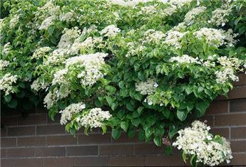 Hydrangea petiolaris P15