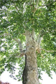 Platanus acerifolia Haute Tige 12 14